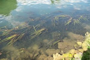 Vegetaux aquatiques à Champigny